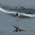 Arktyka_Spitsbergen_2017_82_ptaki.jpg